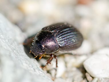 ground beetle searching for food outside an illinois home