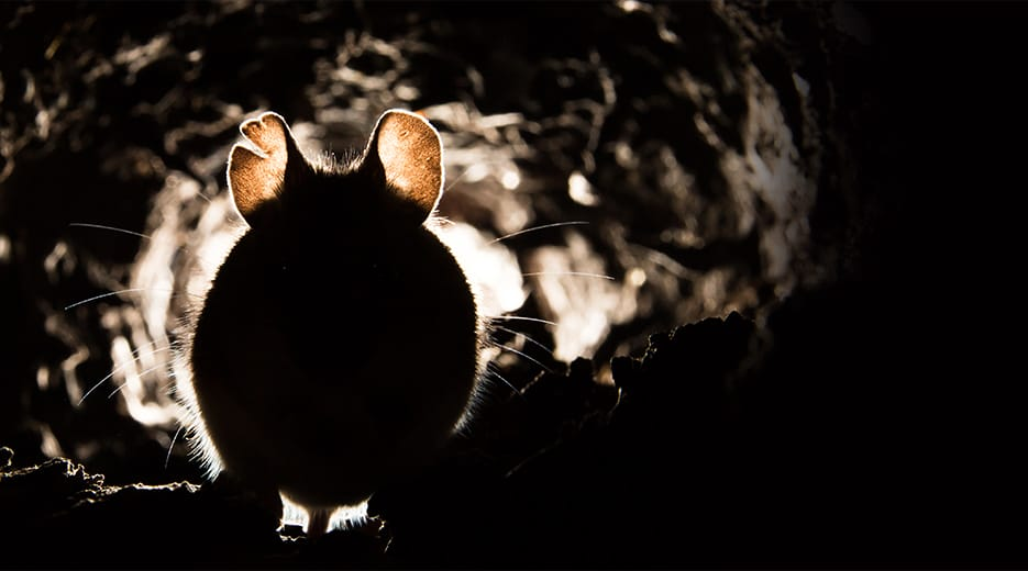 silhouette of a mouse in its den under an illinois home