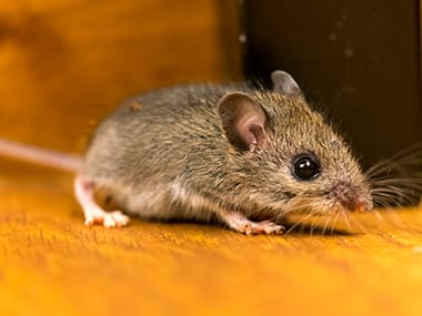 common house mouse inside an illinois home