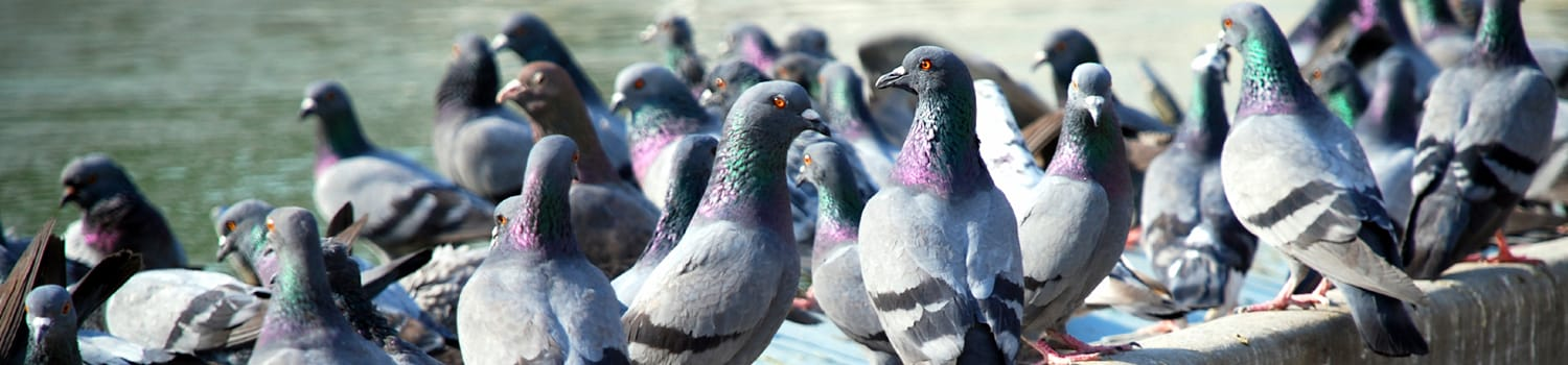 flock of pigeons outside an illinois office building