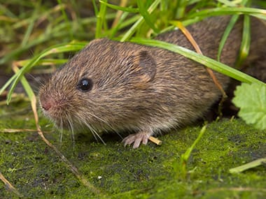 meadow vole lingering the grass outside a wilmington home