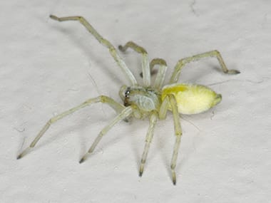 yellow sac spider on a counter in an illinois home