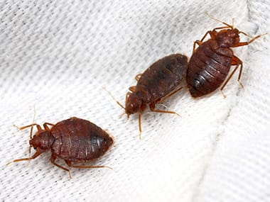 Bed Bugs Prevention And Bed Bug Control Tips