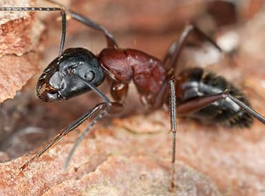 carpenter ant in damaged wood