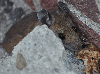 mouse hiding next to home