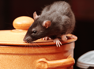 norway rat on cookie jar