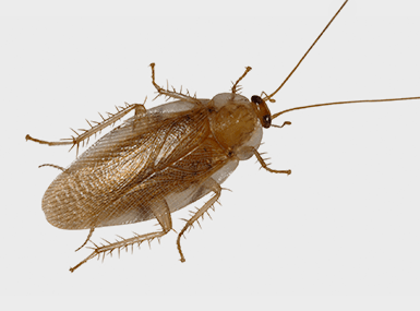 wood cockroach on gray background
