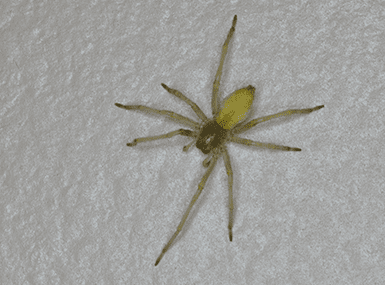 yellow sac spider on wall
