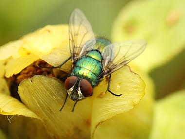 blow fly on a flower in sandwich illinios
