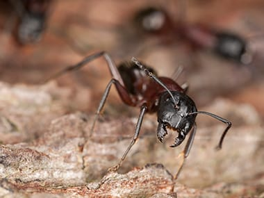 carpenter ant infesting a bloomington home