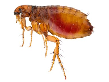 cat flea after a blood meal inside a sandwich illinois home