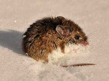 deer mouse in the snow on a dwight home lawn