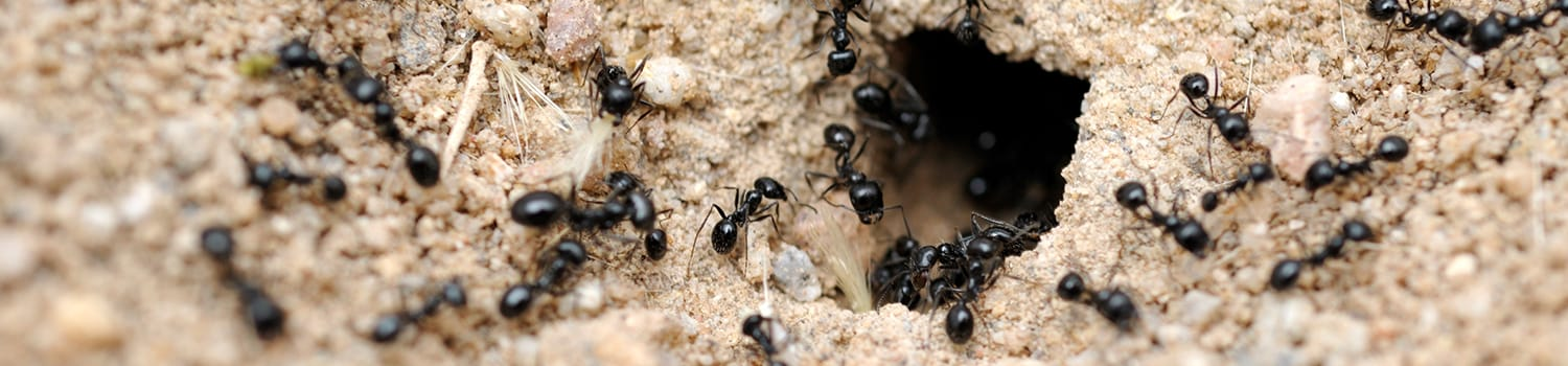ants crawling out of their hive in illinois