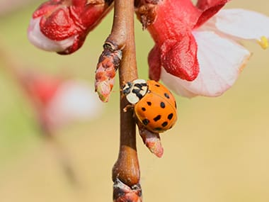 lady beetle on a tree branch eating shrubs on an illinois lawn