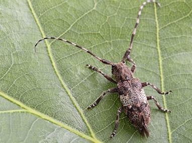 long horned beetle on a leaf in illinois