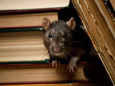norway rat in a bookshelf inside a bloomington home