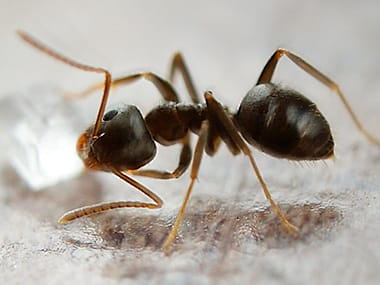 odorous house ant on a counter inside a home