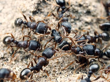 pavement ants on an illinois driveway