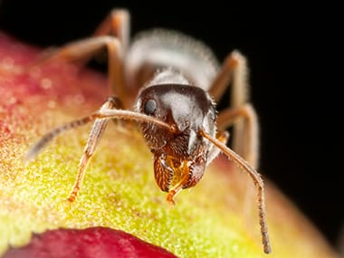 pharaoh ant on a piece of fruit in lasalle