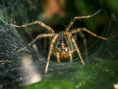 wolf spider in its web outside a bloomington home
