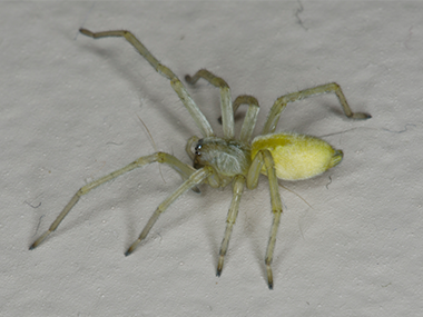 Are Yellow Sac Spiders Dangerous Spiders In Il
